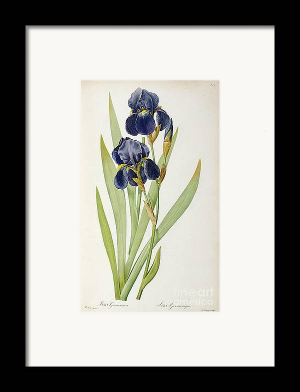 Iris Framed Print featuring the painting Iris Germanica by Pierre Joseph Redoute