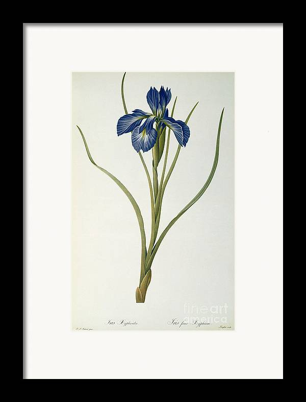 Iris Framed Print featuring the painting Iris Xyphioides by Pierre Joseph Redoute