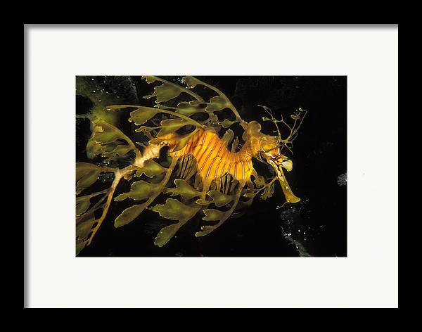 Sea Life Framed Print featuring the photograph Leafy Seadragon, Off Kangaroo Island by James Forte