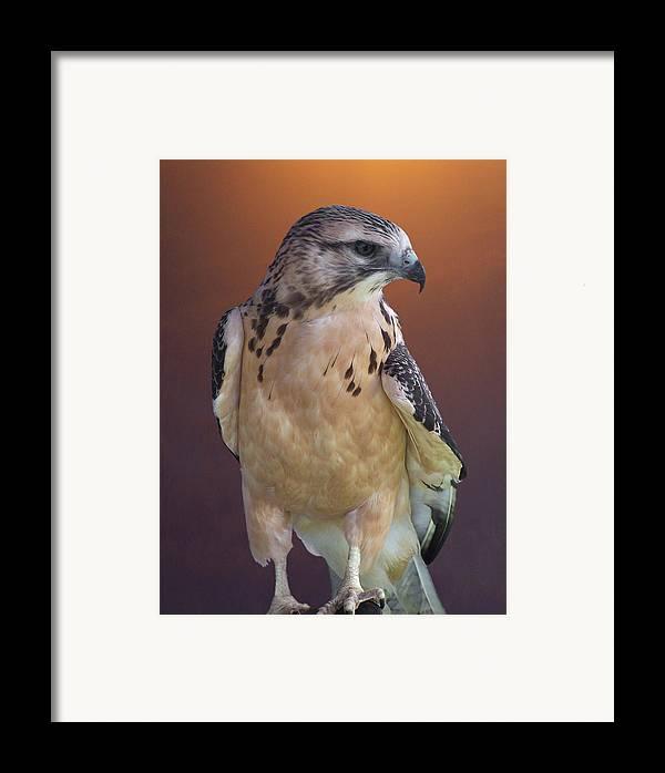 Light-morph Immature Swainson's Hawk Framed Print featuring the photograph Light Morph Immature Swainsons Hawk by Ernie Echols