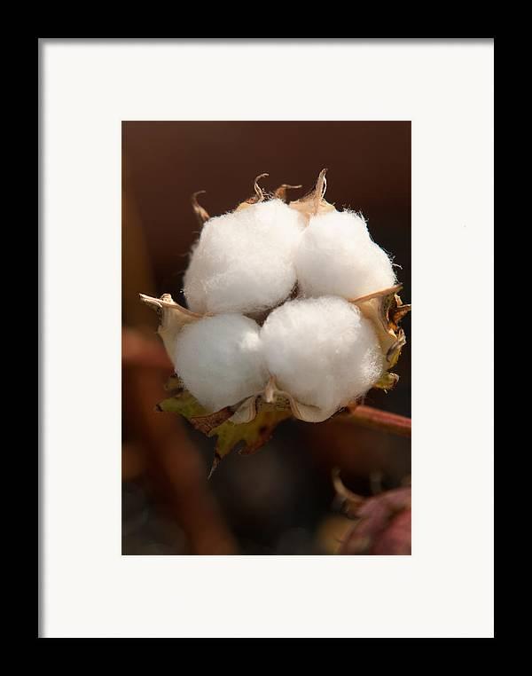Cotton Framed Print featuring the photograph Open Cotton Boll by Douglas Barnett