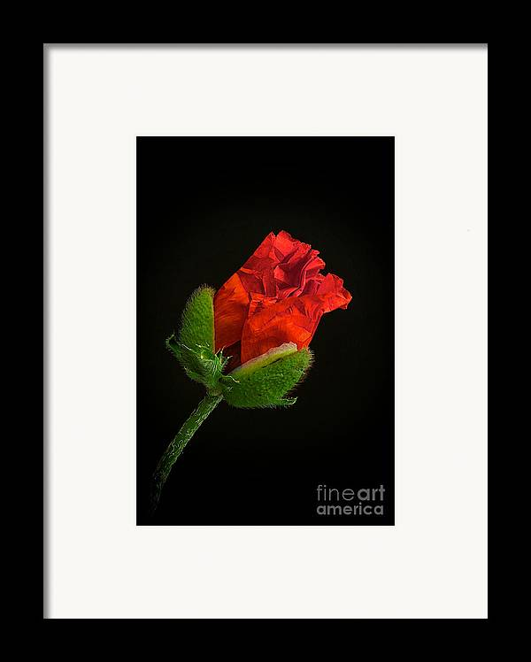 Poppy Framed Print featuring the photograph Poppy Bud by Toni Chanelle Paisley