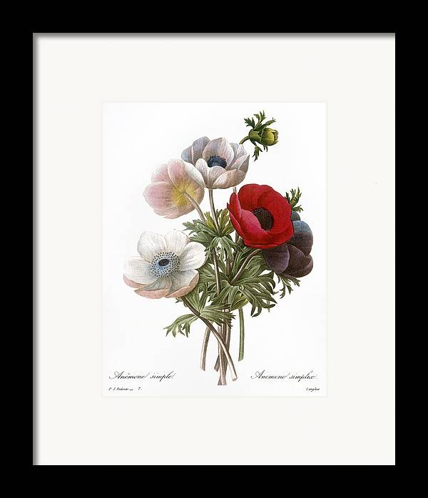 1833 Framed Print featuring the photograph Redoute: Anemone, 1833 by Granger