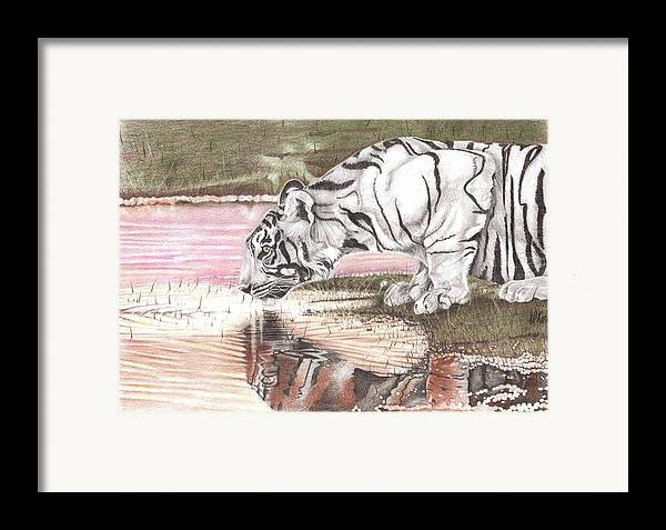 Tiger Framed Print featuring the drawing Reflecting by Dustin Knighton