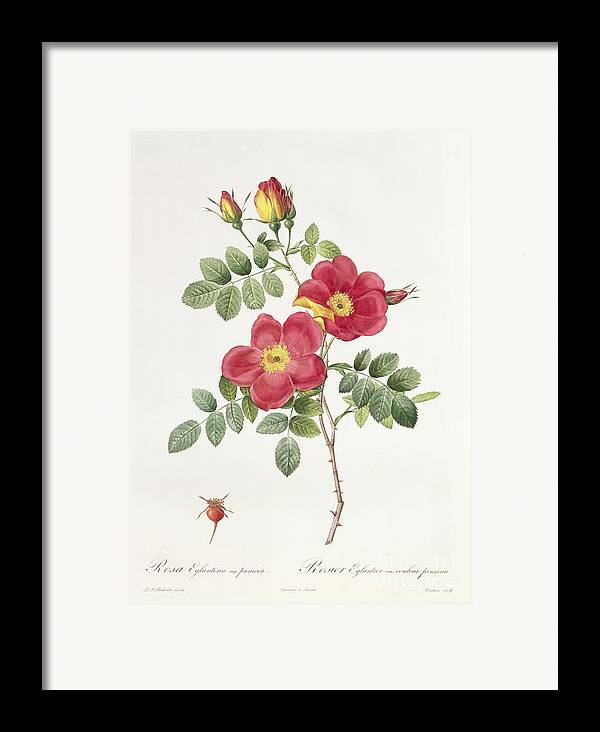 Rosa Framed Print featuring the drawing Rosa Eglantera Punicea by Pierre Joseph Redoute