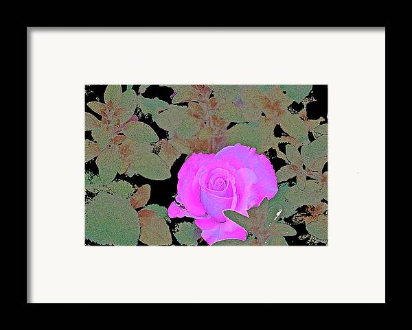 Floral Framed Print featuring the photograph Rose 97 by Pamela Cooper