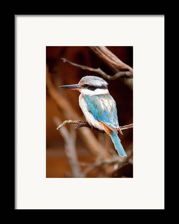 Kingfisher Framed Print featuring the photograph Sacred Kingfisher by Mike Dawson
