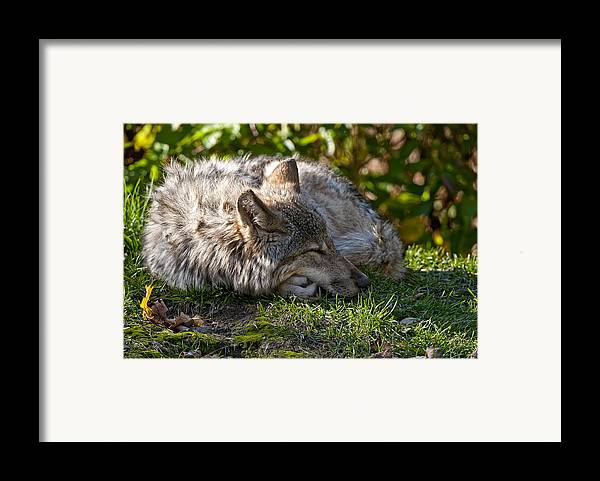 Michael Cummings Framed Print featuring the photograph Sleeping Timber Wolf by Michael Cummings