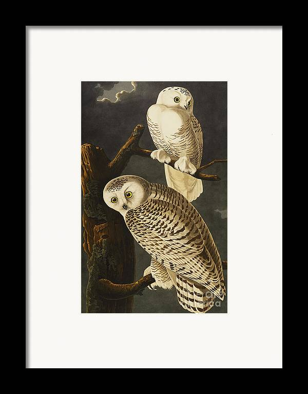 Snowy Owl (nyctea Scandiaca) Plate Cxxi From 'the Birds Of America' (aquatint & Engraving With Hand-colouring) By John James Audubon (1785-1851) Framed Print featuring the drawing Snowy Owl by John James Audubon