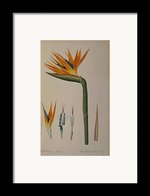 Strelitzia Framed Print featuring the painting Strelitzia Reginae by Pierre Joseph Redoute