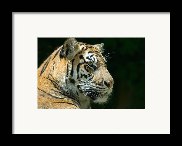 Animal Framed Print featuring the photograph Sumatran Tiger by Mary Lane
