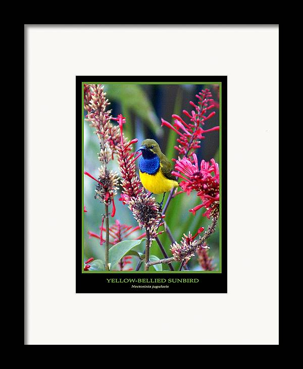 Animals Framed Print featuring the photograph Sunbird by Holly Kempe