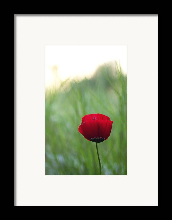 Flower Framed Print featuring the photograph Sunset Poppy by Julia Bridget Hayes