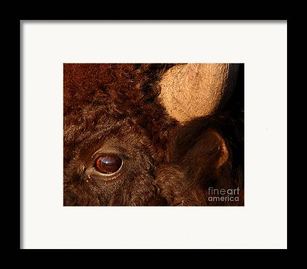 Buffalo Framed Print featuring the photograph Sunset Reflections In The Eye Of A Buffalo by Max Allen