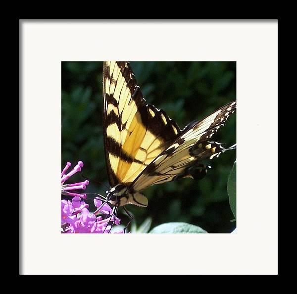 Swallowtail Butterfly Yellow Purple Flower Framed Print featuring the photograph Swallowtail 2 by Anna Villarreal Garbis