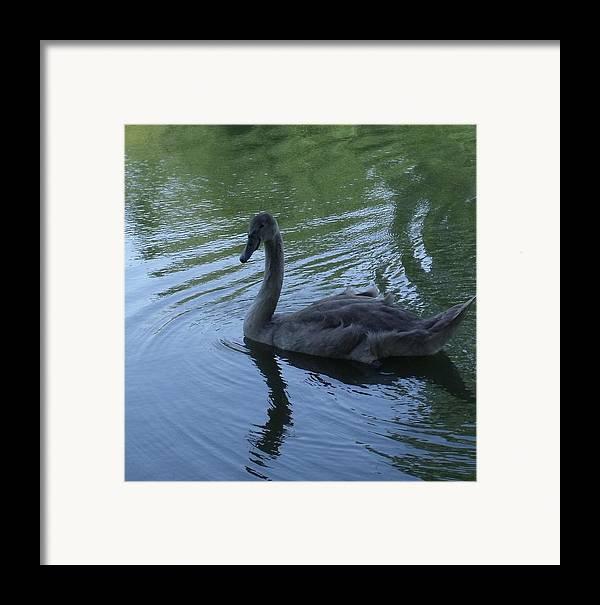 Swan Framed Print featuring the photograph Swan Cygnet by Anna Villarreal Garbis