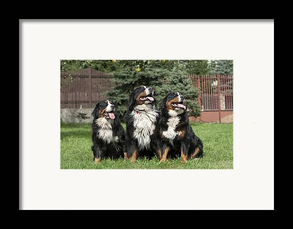 Berner Framed Print featuring the photograph Three Bernese Mountain Dog Portrait by Waldek Dabrowski