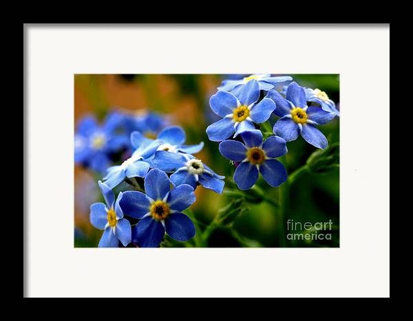 myosotis Sylvatica Framed Print featuring the photograph Wood Forget Me Not Blue Bunch by Ryan Kelly