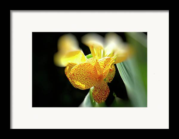 Canna Framed Print featuring the photograph Yellow With Red Spots by Douglas Barnard