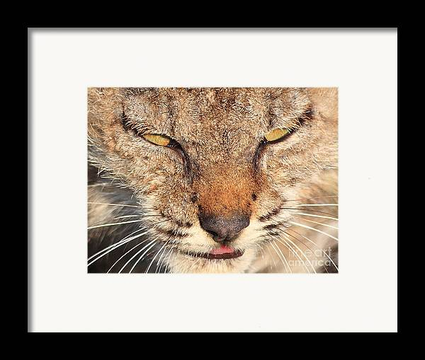 Animal Framed Print featuring the photograph Young Bobcat Portrait 01 by Wingsdomain Art and Photography