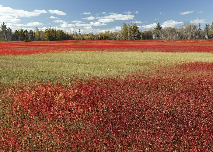 Feb0514 Greeting Card featuring the photograph Autumn Blueberry Field Maine by Scott Leslie