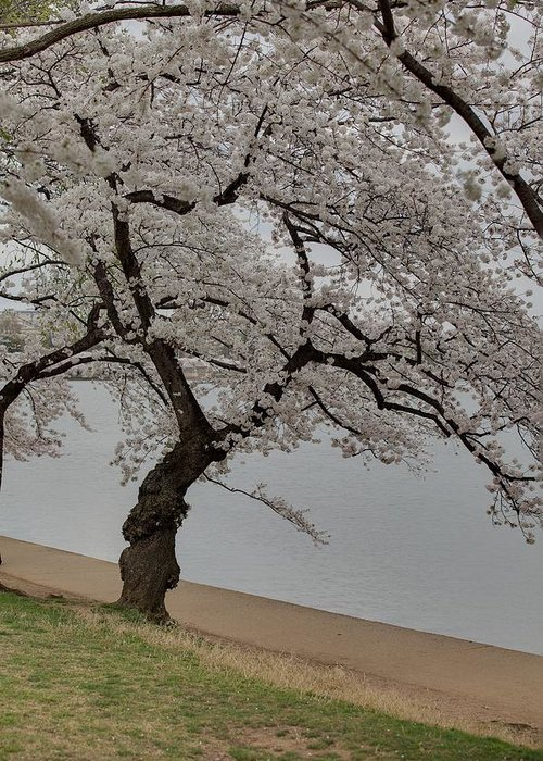 America Greeting Card featuring the photograph Cherry Blossoms - Washington Dc - 011343 by DC Photographer