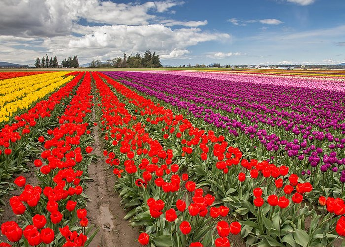Tulips Greeting Card featuring the photograph Colorful Field Of Tulips by Pierre Leclerc Photography
