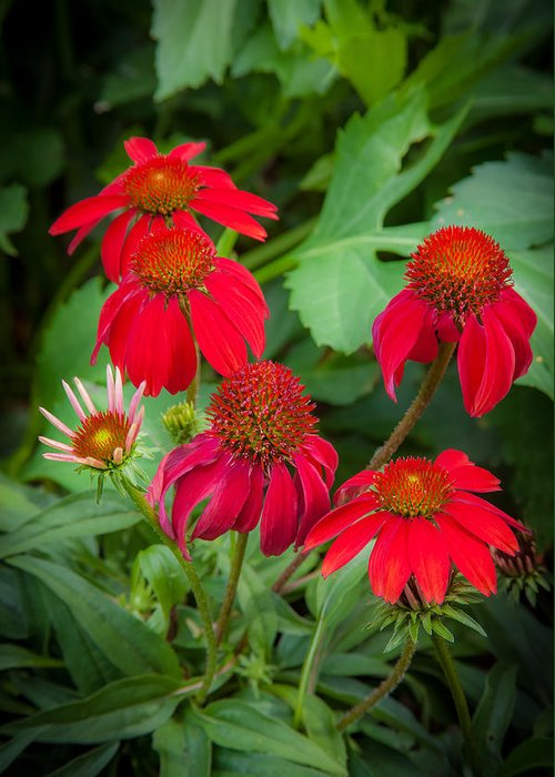 Echinacea Greeting Card featuring the photograph Coneflowers Echinacea Red by Rich Franco