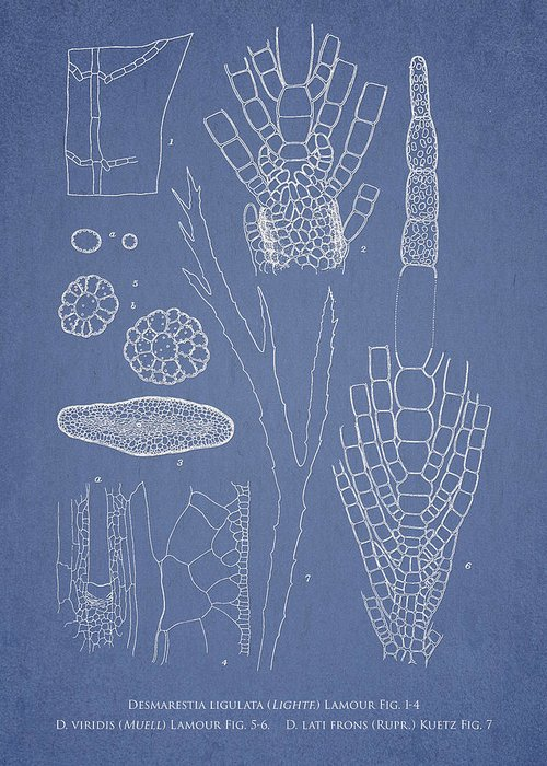 Algae Greeting Card featuring the drawing Desmarestia Ligulata by Aged Pixel