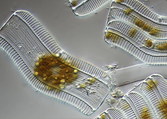 Achnantes Longipes Greeting Card featuring the photograph Diatoms, Light Micrograph by Science Photo Library