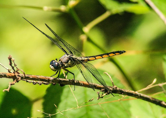 Dragonflies Greeting Card featuring the photograph Dragonfly by Steven Taylor