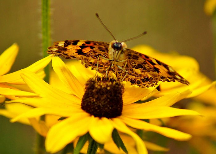 Butterfly Greeting Card featuring the photograph Female Gulf Fritillary by Carol Toepke