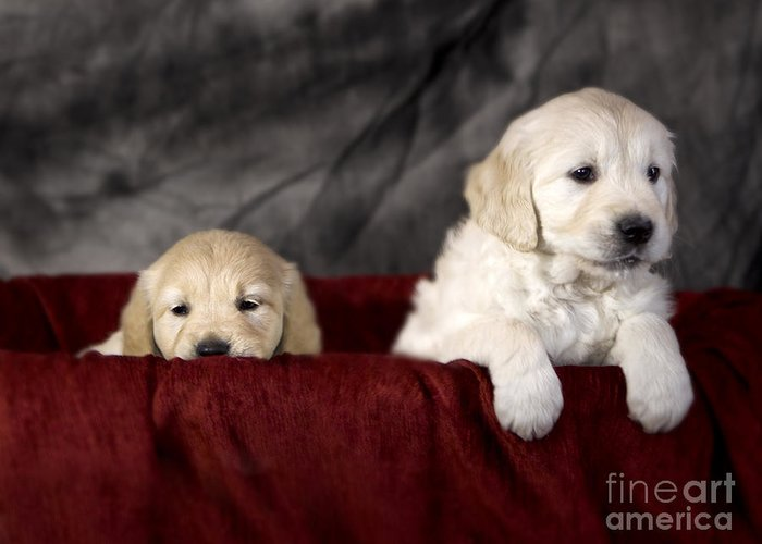 Dog Greeting Card featuring the photograph Golden Retriever Puppies by Angel Tarantella