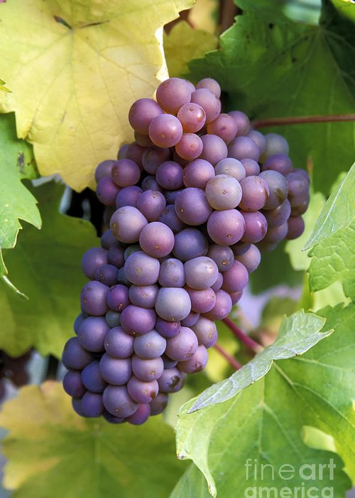 Harvest Greeting Card featuring the photograph Pinot Gris Grapes by Kevin Miller