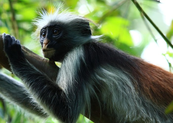 Red Colobus Monkey Greeting Card featuring the photograph Red Colobus Monkey by Aidan Moran
