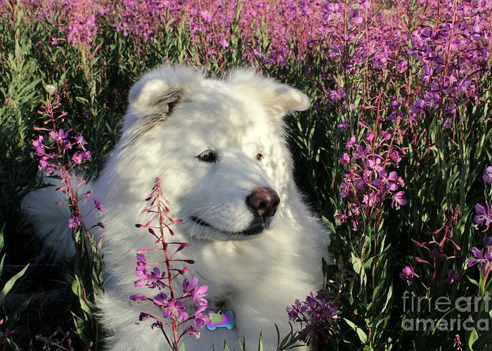 Samoyed Greeting Card featuring the photograph Shadows by Fiona Kennard