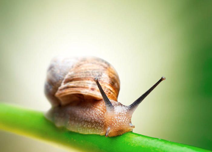 Snail Greeting Card featuring the photograph Snail On Green Stem by Johan Swanepoel
