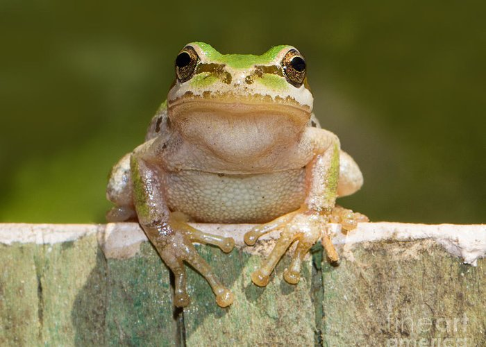 Frog Greeting Card featuring the photograph Someone Watching Over Me by Mimi Ditchie