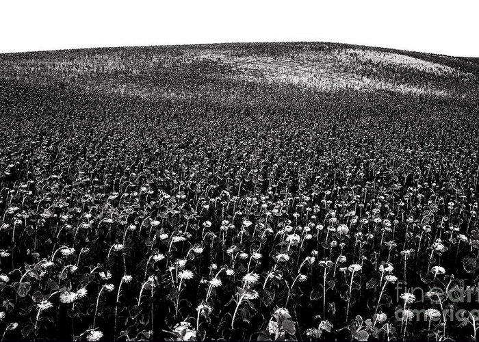 Outdoors Greeting Card featuring the photograph Field Of Sunflowers by Bernard Jaubert