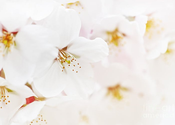 Apple Blossoms Greeting Card featuring the photograph Apple Blossoms by Elena Elisseeva