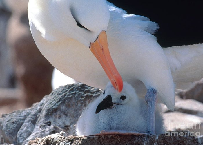 Fauna Greeting Card featuring the photograph Black-browed Albatross With Chick by Art Wolfe
