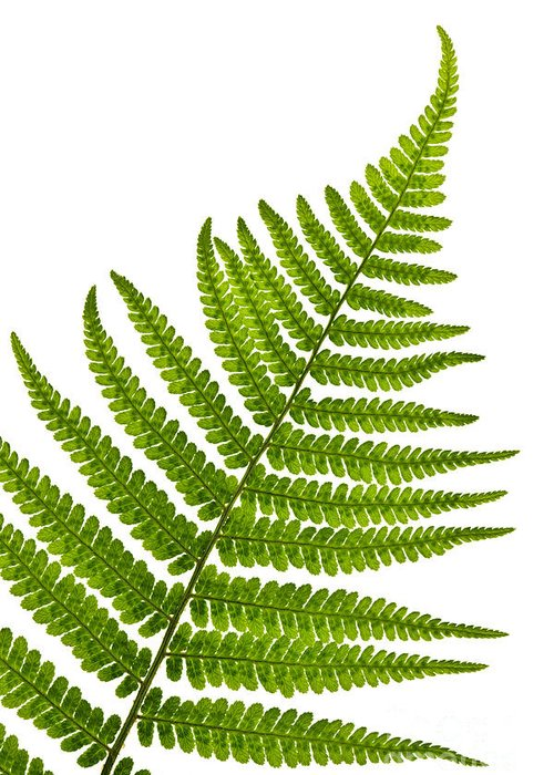 Fern Greeting Card featuring the photograph Fern Leaf by Elena Elisseeva
