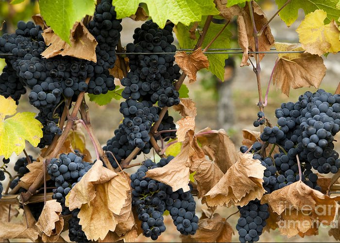 Agriculture Greeting Card featuring the photograph Gamay Noir Grapes by Kevin Miller