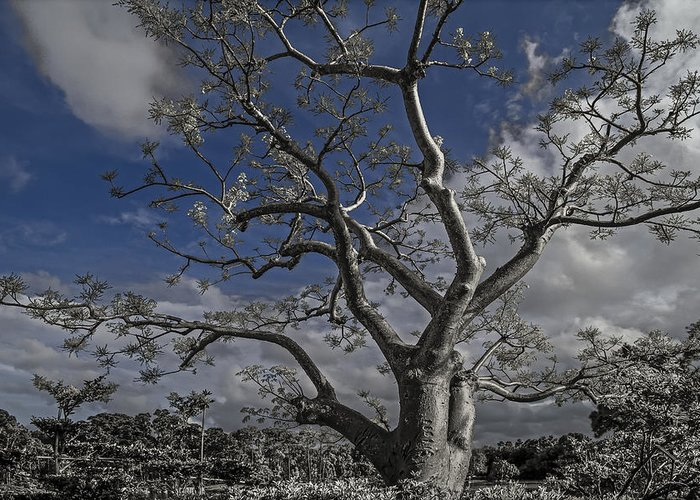 Clouds Greeting Card featuring the photograph Ghost Tree by Debra and Dave Vanderlaan