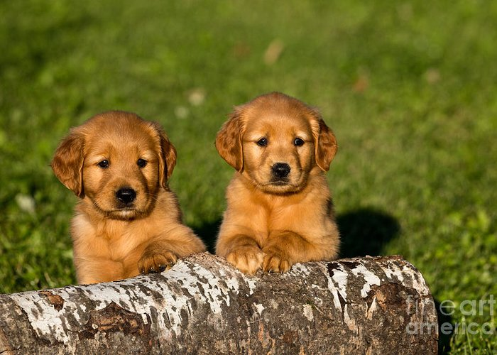 Nature Greeting Card featuring the photograph Golden Retriever Puppies by Linda Freshwaters Arndt