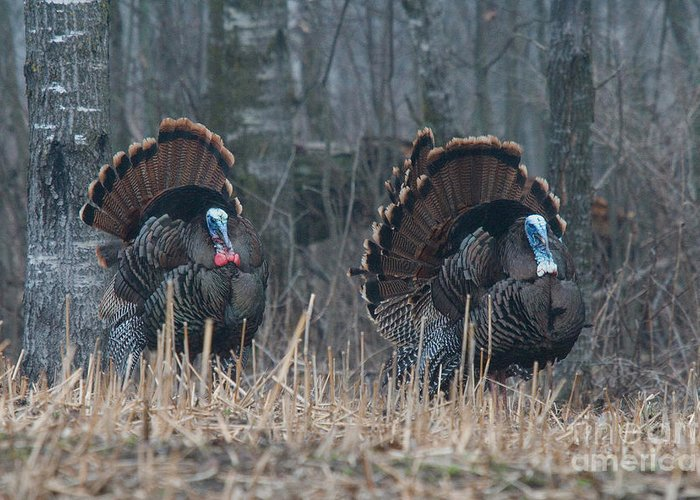 Eastern Wild Turkey Greeting Card featuring the photograph Jake Eastern Wild Turkeys by Linda Freshwaters Arndt