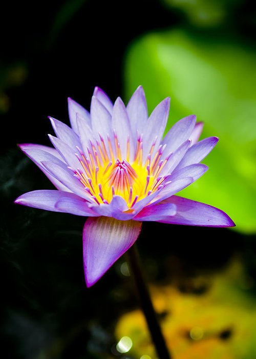 Flowers Greeting Card featuring the photograph Purple Lotus by Raimond Klavins