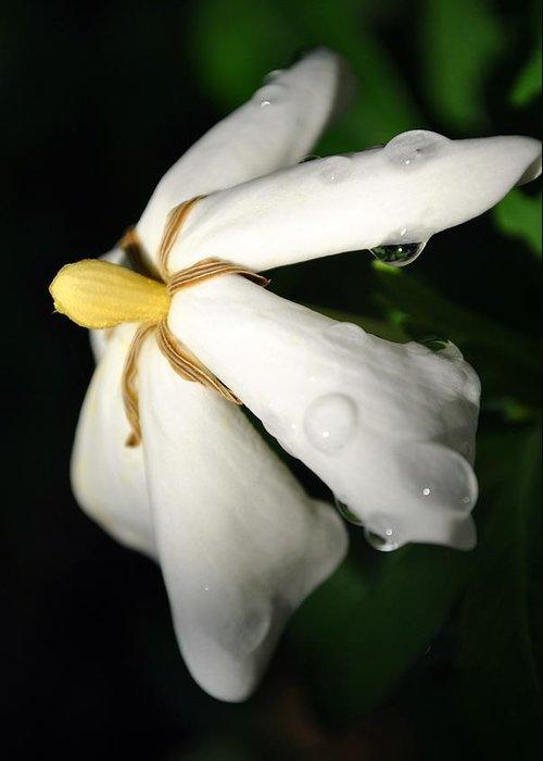 Gardenia Greeting Card featuring the photograph Sun Kissed Gardenia by Kelly Nowak