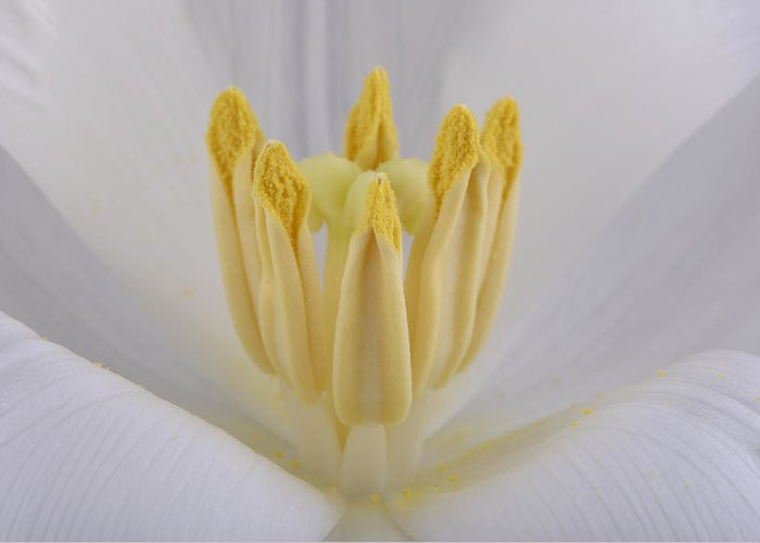 Beautiful Greeting Card featuring the photograph Tulip by Mark Johnson