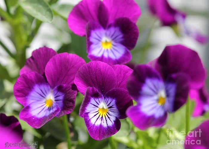 Mccombie Greeting Card featuring the photograph Viola Named Sorbet Plum Velvet Jump-up by J McCombie